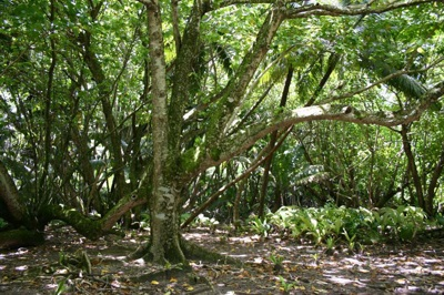 Hernandia Forest, Diego Garcia, British Indian Ocean Territory